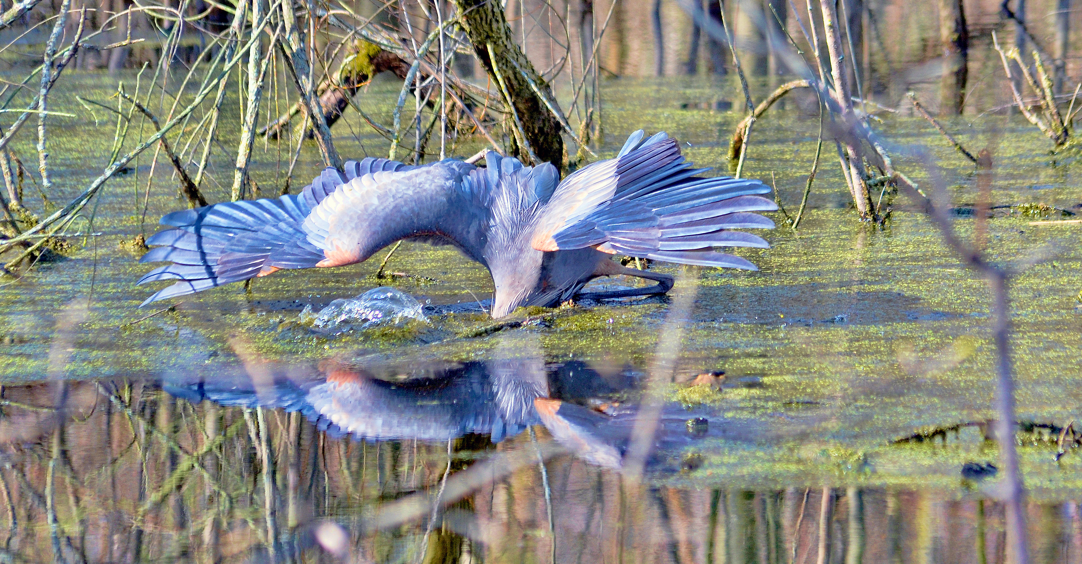 Great Blue Heron gone fishing<br />Yes, this Great Blue Heron is fishing at the Ottawa National Wildlife Refuge. The Great Blue Heron, America's largest heron, is a master at catching fish. They may also become adept at catching small muskrats and other rodents, and rails, ducklings, frogs, and other small birds. (Photo by Maggi Dandar)