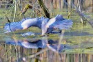 Great Blue Heron gone fishing Yes, this Great Blue Heron is fishing at the Ottawa National Wildlife Refuge. The Great Blue Heron, America's largest heron, is a master at catching fish. (Photo by Maggi Dandar)