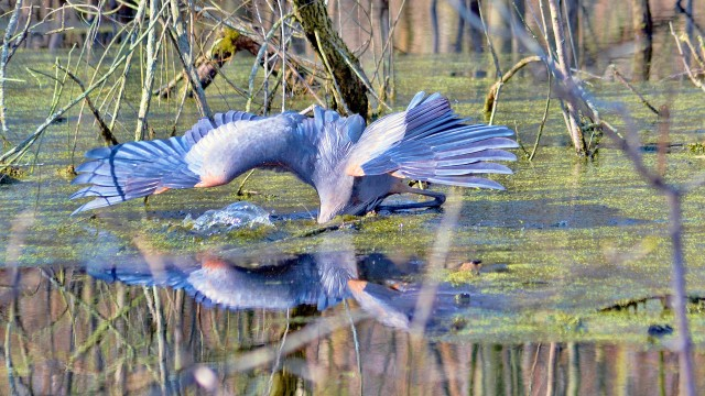 Great Blue Heron goes fishing