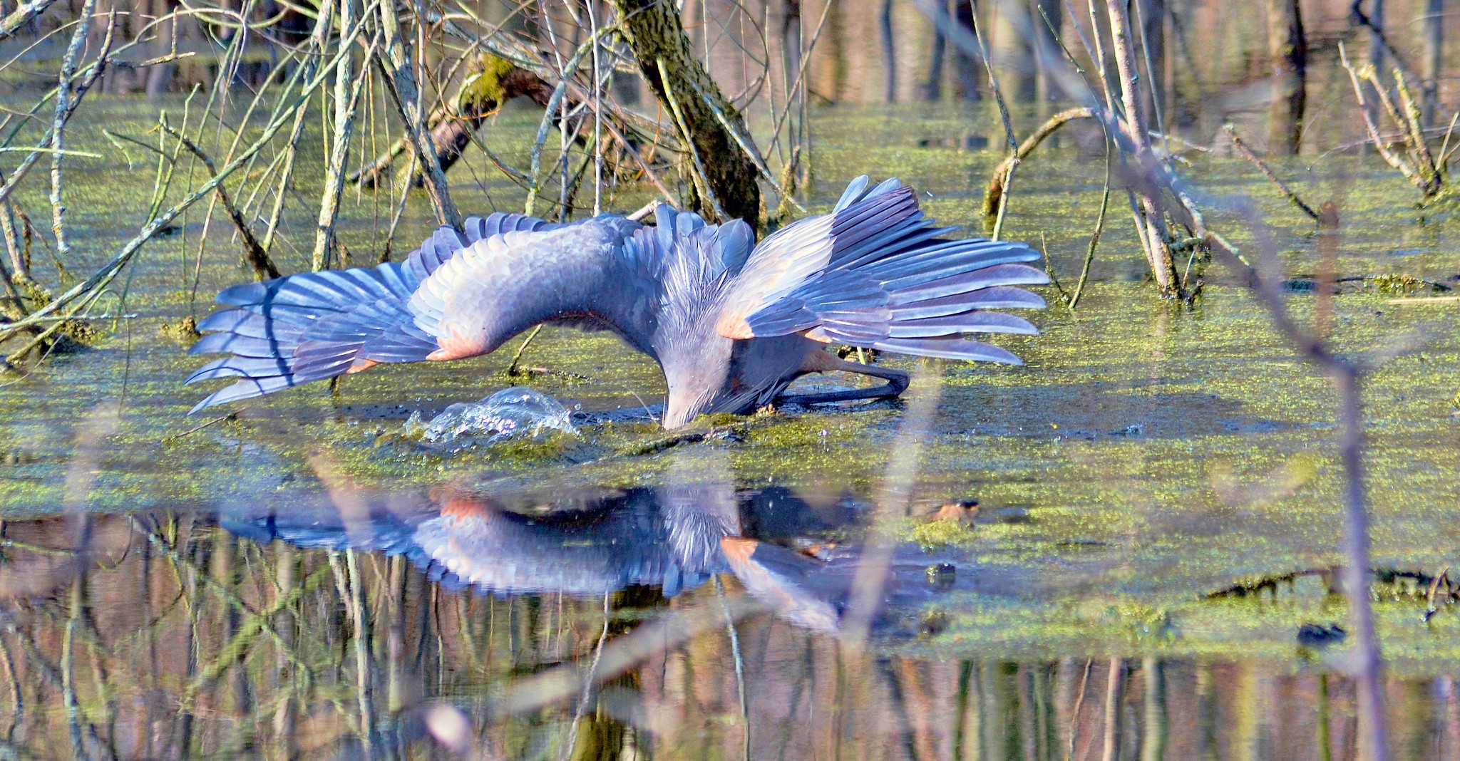 Great Blue Heron goes fishing<br />Yes, this Great Blue Heron is fishing at the Ottawa National Wildlife Refuge. The Great Blue Heron, America's largest heron, is a master at catching fish. (Photo by Maggi Dandar)