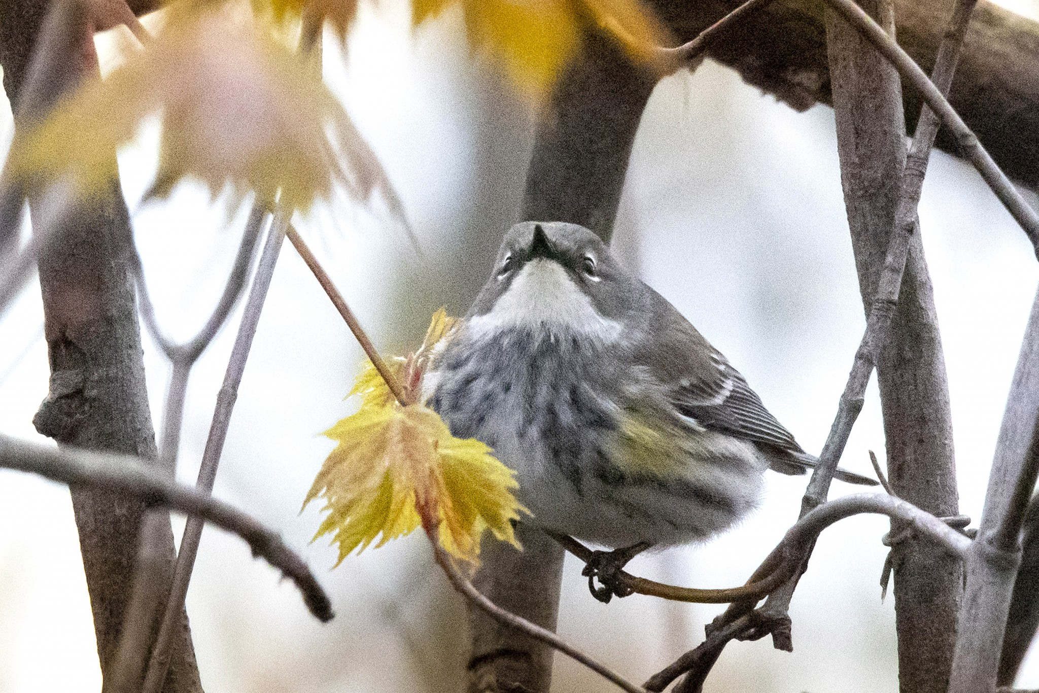 The yellow-rumped warbler is one of the most numerous species in the first wave of neotropical migrants to arrive in our area. This female yellow-rumped was photographed on May 3 last year along the Magee Marsh Bird Trail, which is closed to the public this year. (Photo by Art Weber)