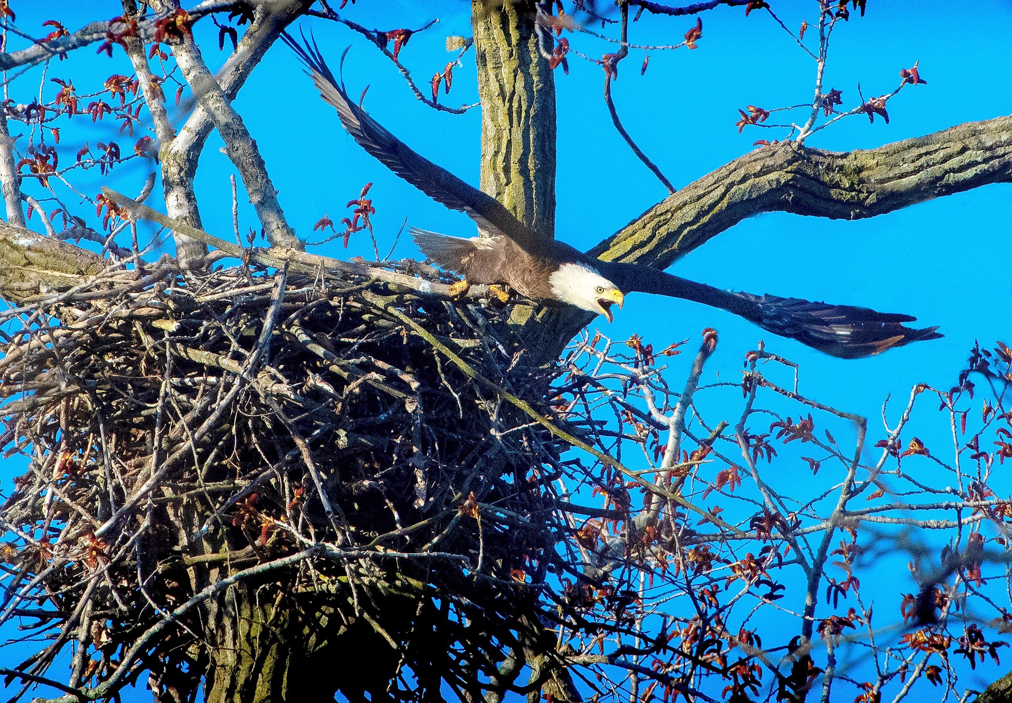 Not all the favorite birds of spring are small songbirds. Our area is home to Ohio's largest population of bald eagles, their huge nests unmistakable all along the lakeshore. A recent survey logged locations of 90 nests just in Ottawa County. (Photo by Art Weber)
