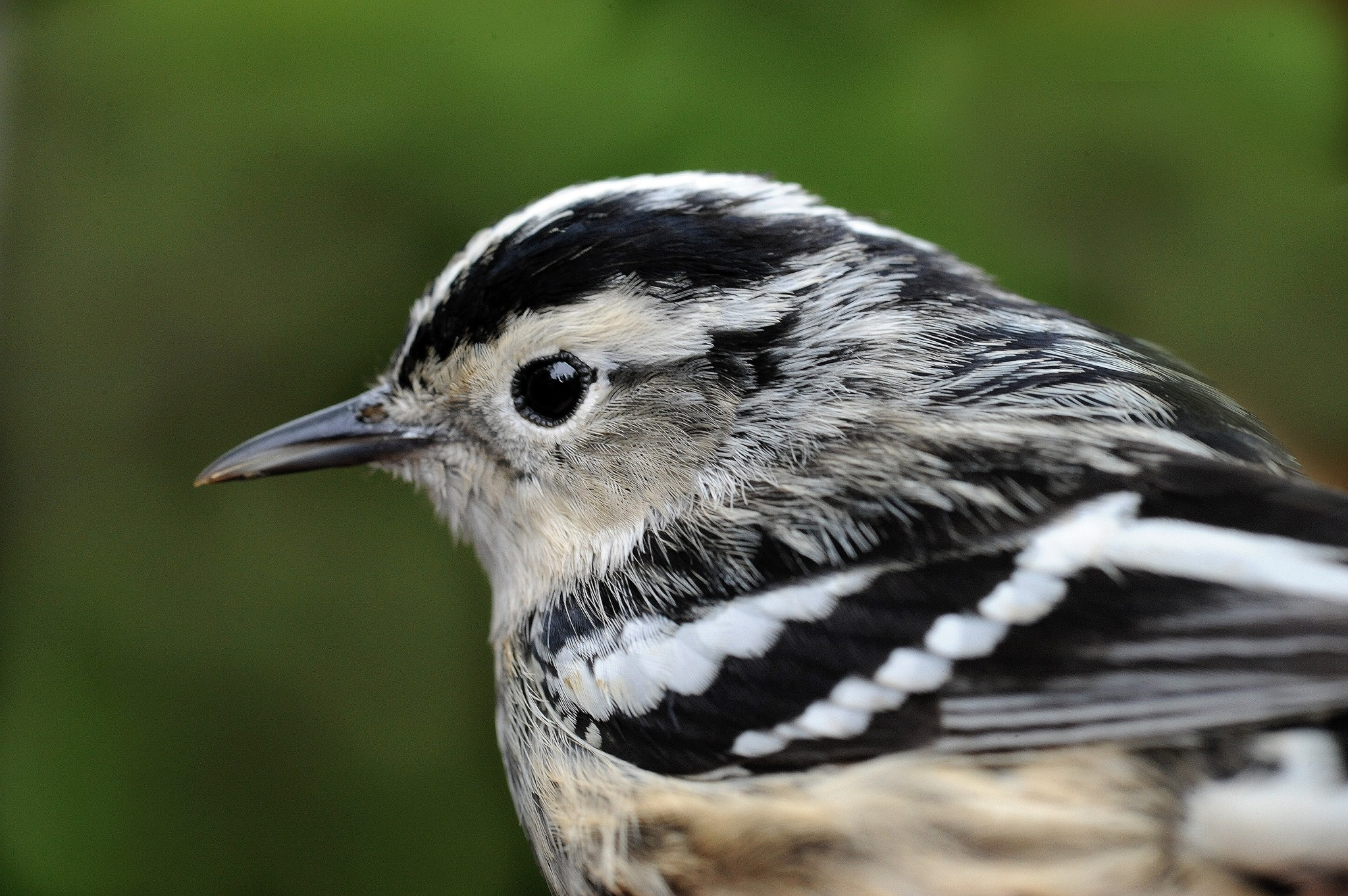 The aptly named and beautifully marked black and white warbler is likely to be among the warblers seen now in lakeshore natural areas. (Photo by Art Weber)